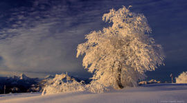 Tief verschneiter Baum. Links hinten Watzmann und Untersberg