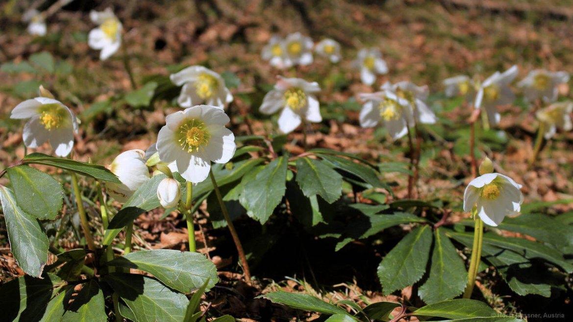 7 Fruhlingsblumen Die Du Kennen Solltest Austria Insiderinfo