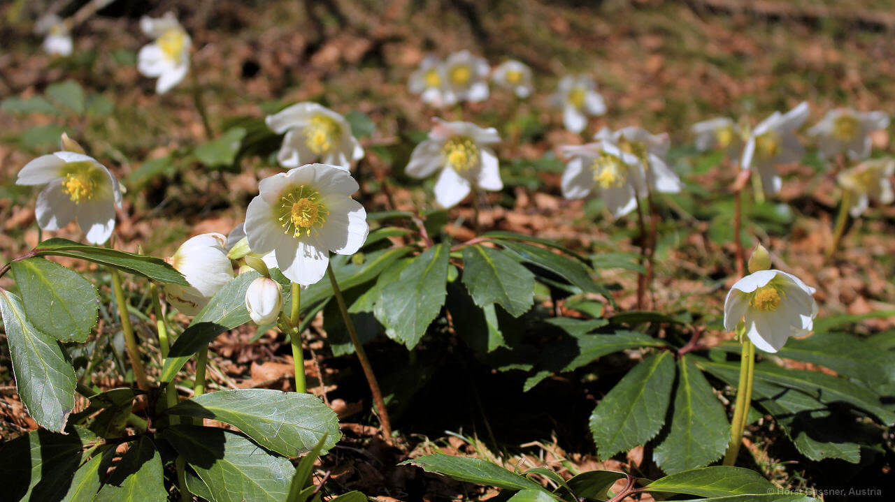 Eine der ersten Frühlingsblumen - die Schneerose