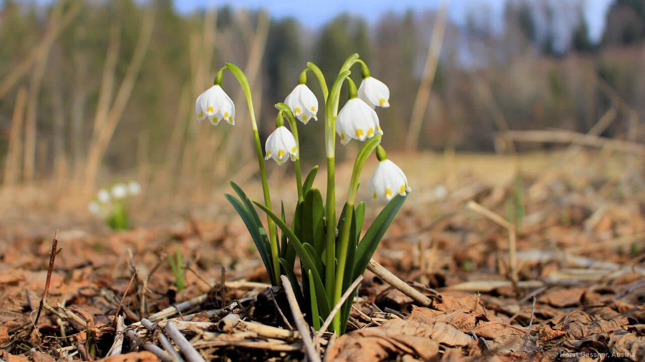 Frühlingsknotenblume oder Märzenbecher