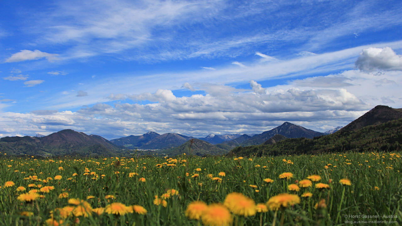 Blumenwiese im Salzburger Land