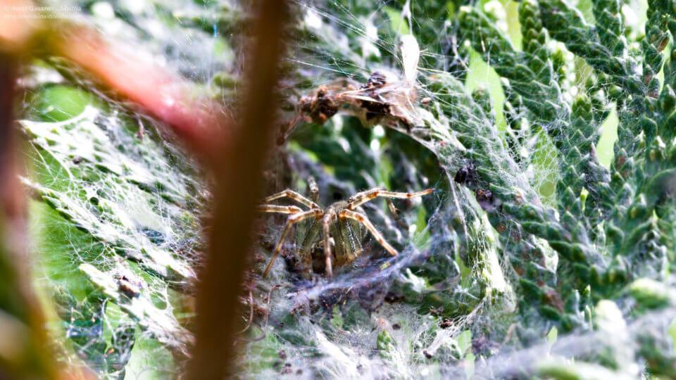 Spinne bewacht ihre Brut