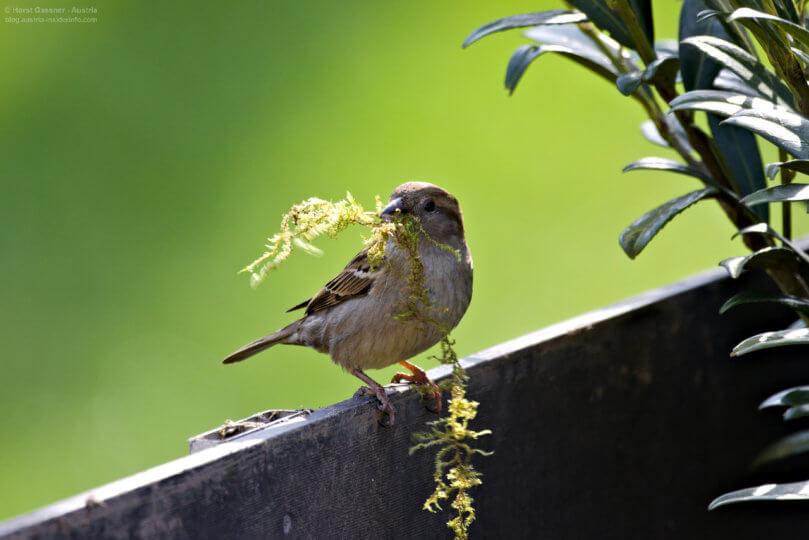Vogel bestimmen - Spatz / Weibchen