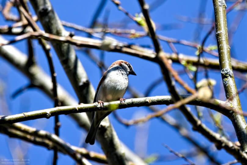 Vogel bestimmen - Spatz / Sperling