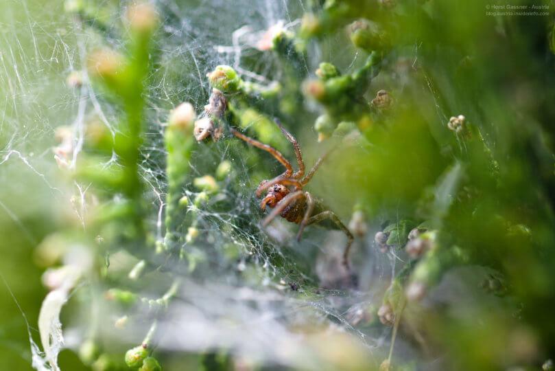 Faszinierende Spinne in der Thujenhecke