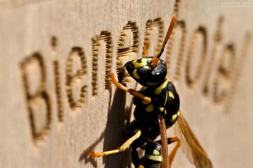 Gallische Feldwespe an der Nisthilfe für Wildbienen