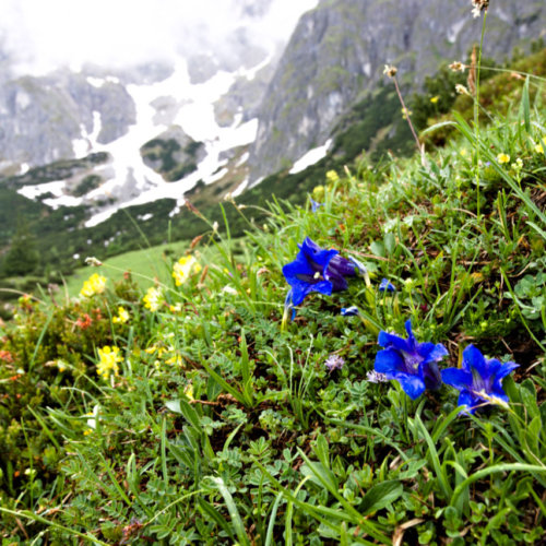 Violette Blüte vor Bergmassiv