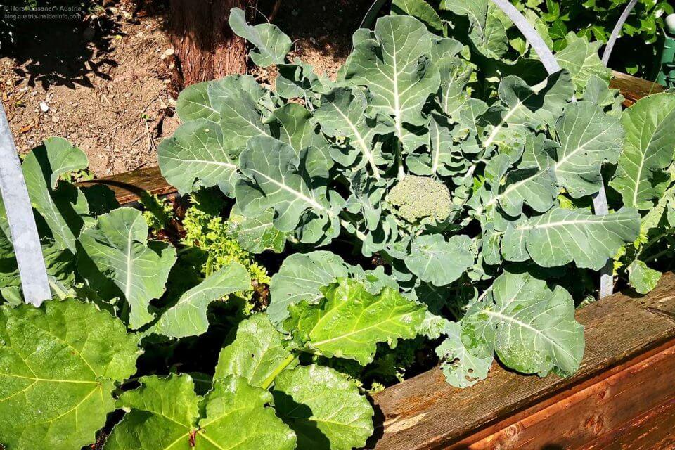 Broccoli im Hochbeet für Dummies