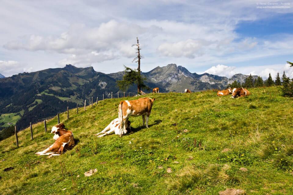 Kühe auf dem Weg zum Saukarkopf in Großarl