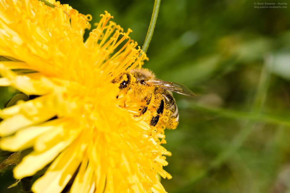 Canon EF 100mm Marco F/2.8 - geniale Schärfentiefe und Bokeh: Duschen wäre gefragt - Biene mit Pollen