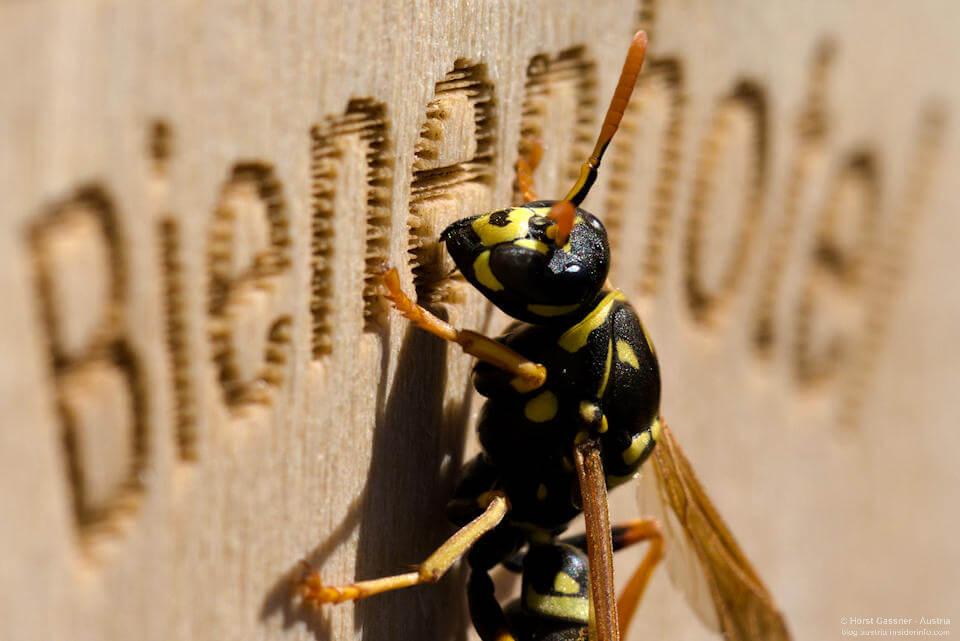 Wespe am Bienenhotel